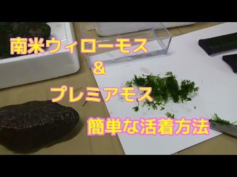 プレミアモス&南米ウィローモス 活着の方法 比較 エビ水槽水草 仕方苔Waterweed Java moss