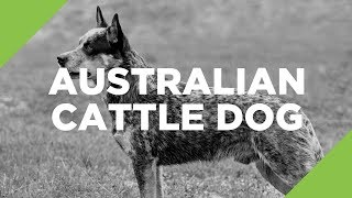 Australian Cattle Dog - The Ultimate Guide
