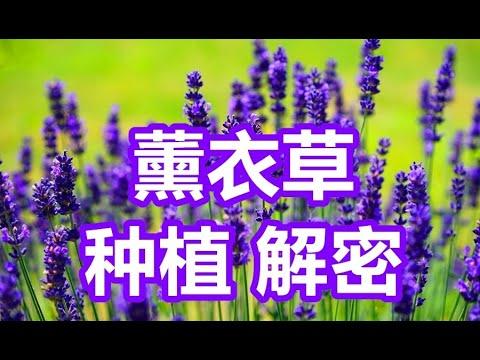 , title : '薰衣草种植解密,授课解密薰衣草,购买薰衣草,养护薰衣草