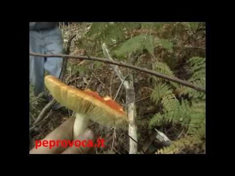 Unguenti del Vietnam da un fungo