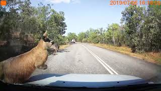 Kangaroo jumps into car windscreen - Litchfield national park.