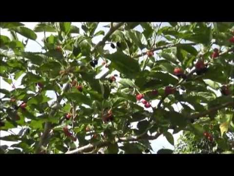 Video How To Grow a Mulberry Tree From a Cutting