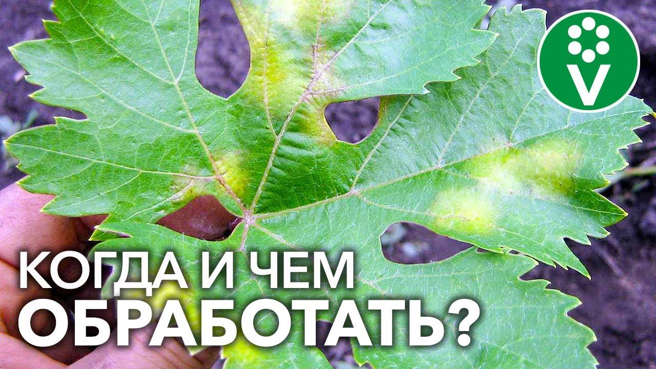 Все обработки винограда от МИЛДЬЮ с весны до осени