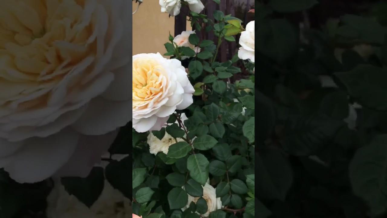 Роза Крокус роуз, наслаждаемся
