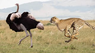 Leopard, Cheetah and Ostrich - which one is faster?