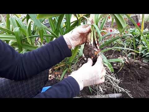 Гименокаллис в огороде