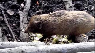 preview picture of video 'Prague : Zoo nook Hostivar : Wild boar'