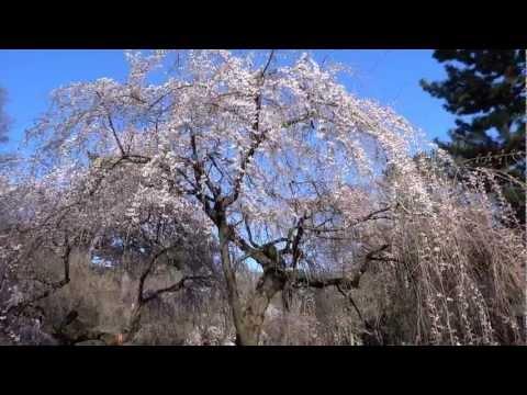【Cherry blossoms in Kyoto】京都の桜の開花状況(2013/3/21)