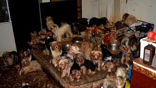 92 Yorkies Found Living in Filth Find New Homes, Hoarders Agree to Probation