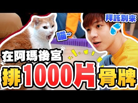 黃氏兄弟-挑戰在貓咪前面排骨牌,能成功嗎?