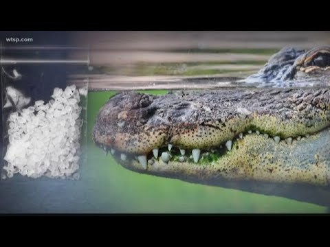 Police warn flushing drugs down the toilet could create 'meth-gators' | 10News WTSP