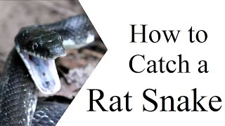 How to Catch a Rat Snake