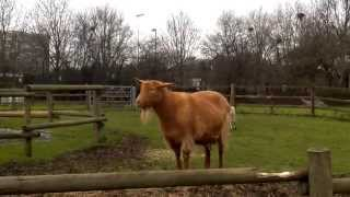 preview picture of video 'Golden Guernsey goat at Hackney City Farm'
