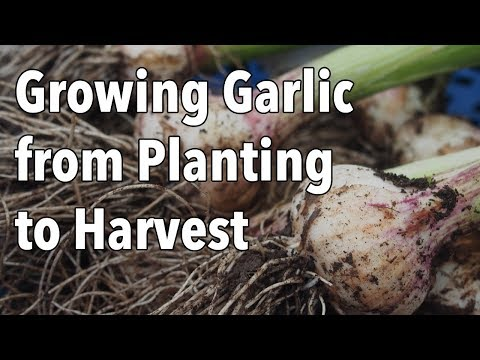 , title : 'Growing Garlic from Planting to Harvest