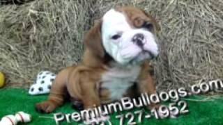 Apollo Pure Breed English Bulldog Puppy