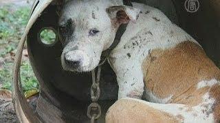 Бойцовым собакам лечат душевные раны (новости)