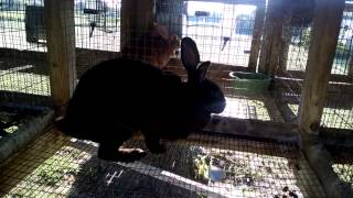 New Zealand Rabbits  Proper Feeding And Care