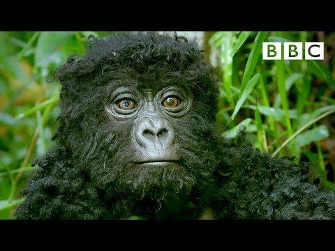 What Happens When a Robo-Gorilla Sneaks In a Gorilla Troop