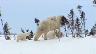 Аида Ведищева  Песенка о медведях  Кадры из документального фильма Приключения детей белого медведя