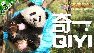 【Panda Scanning】Ep7 Panda Qi Yi, A Comedian Hidden Beneath His Tame Self! 20171002 | iPanda