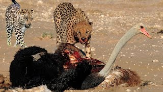 Mother Ostrich protect her newborn from Cheetah, Leopard hunting