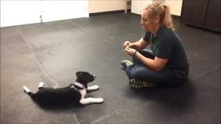 Training A Border Collie Puppy