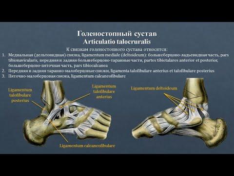 Анатомия голеностопного сустава: строение, классификация, фиксирующий аппарат, движения