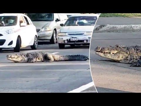 Krokodil hat Vorfahrt
