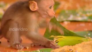 Monkeys partaking Onam feast at Sasthamkotta Temple, Kerala