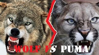 Wolf VS Cougar Fight | Wolf Vs Puma Who Would Win A Fight