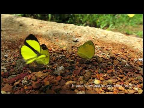 アトグロキチョウの飛翔 Eurema tilaha