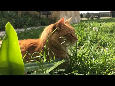 Video Cancer and Your Pet (PART 2 - THE CAT)  Signs and Symptoms