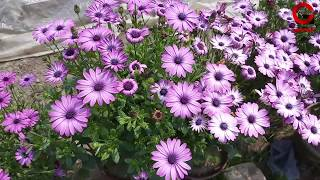 Most Beautiful African Daisy Flowers | Osteospermum