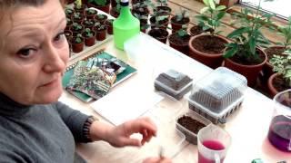 """Выращивание Виолы, торфяные таблетки """"БиТи"""" и новый сорт ампельной петунии """"Тайфун"""""""