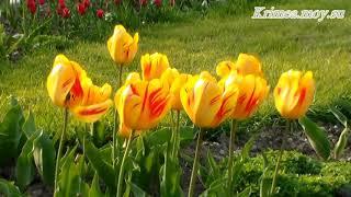 Крым, весна, тюльпаны.