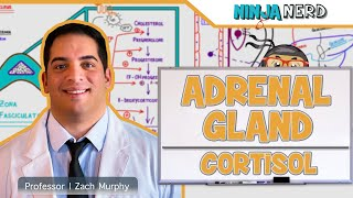 Endocrinology | Adrenal Gland: Zona Fasciculata | Part 2