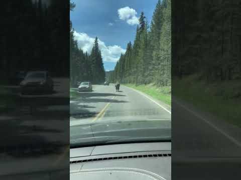 Traffic jam in Yellowstone.