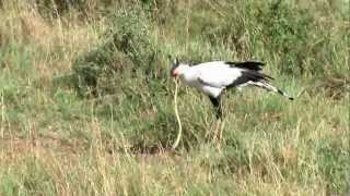 Secretary bird eating a Cobra.