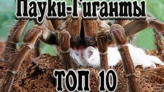 Самые большие пауки.  Пауки-Гиганты