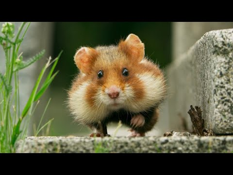 Follow a Tiny Hamster in His Hilarious Hunt for Food