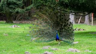 Male peacock video nature and wildlife