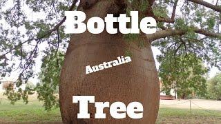Growing A Bottle Tree From Australia