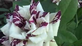 Уход за розами в конце августа видео