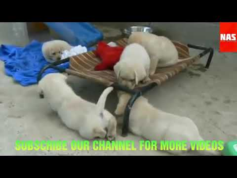Download Labrador Puppies Kci Registered Available For Sell Arm Dog