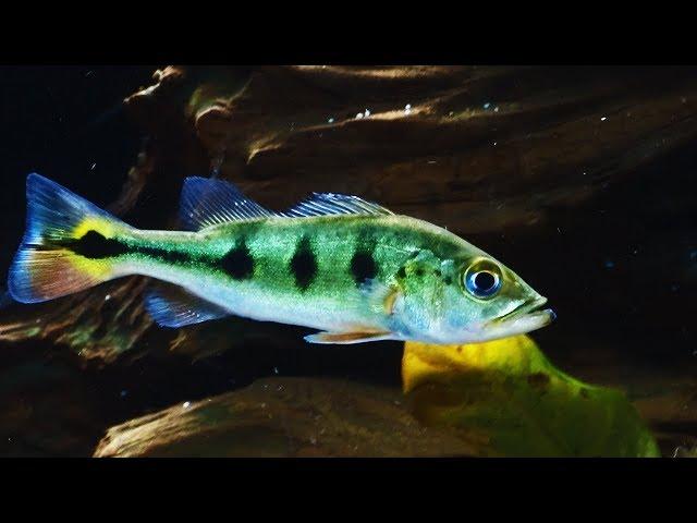 Raising a monster. MONSTER PREDATOR FISH.