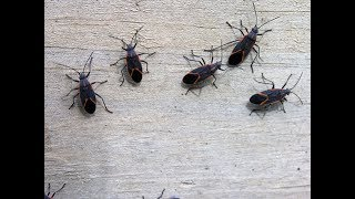 How To Get Rid of Box Elder Bugs: Does This Work?