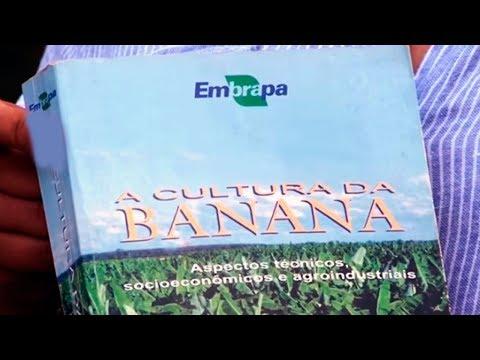 Comparativo de plantio: banana Princesa e banana Maçã