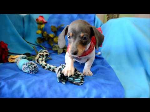 Hank AKC Blue Tan Piebald Miniature Dachshund SH Puppy for sale
