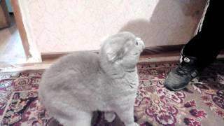 британские кошки, Защищает ребёнка от чужого человека.