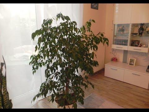 КАК ВЫРАЩИВАТЬ ФИКУС БЕНДЖАМИНА . РАЗМНОЖЕНИЕ, ПЕРЕСАДКА ФИКУСА #ficus #деревья #oldenburgru#111